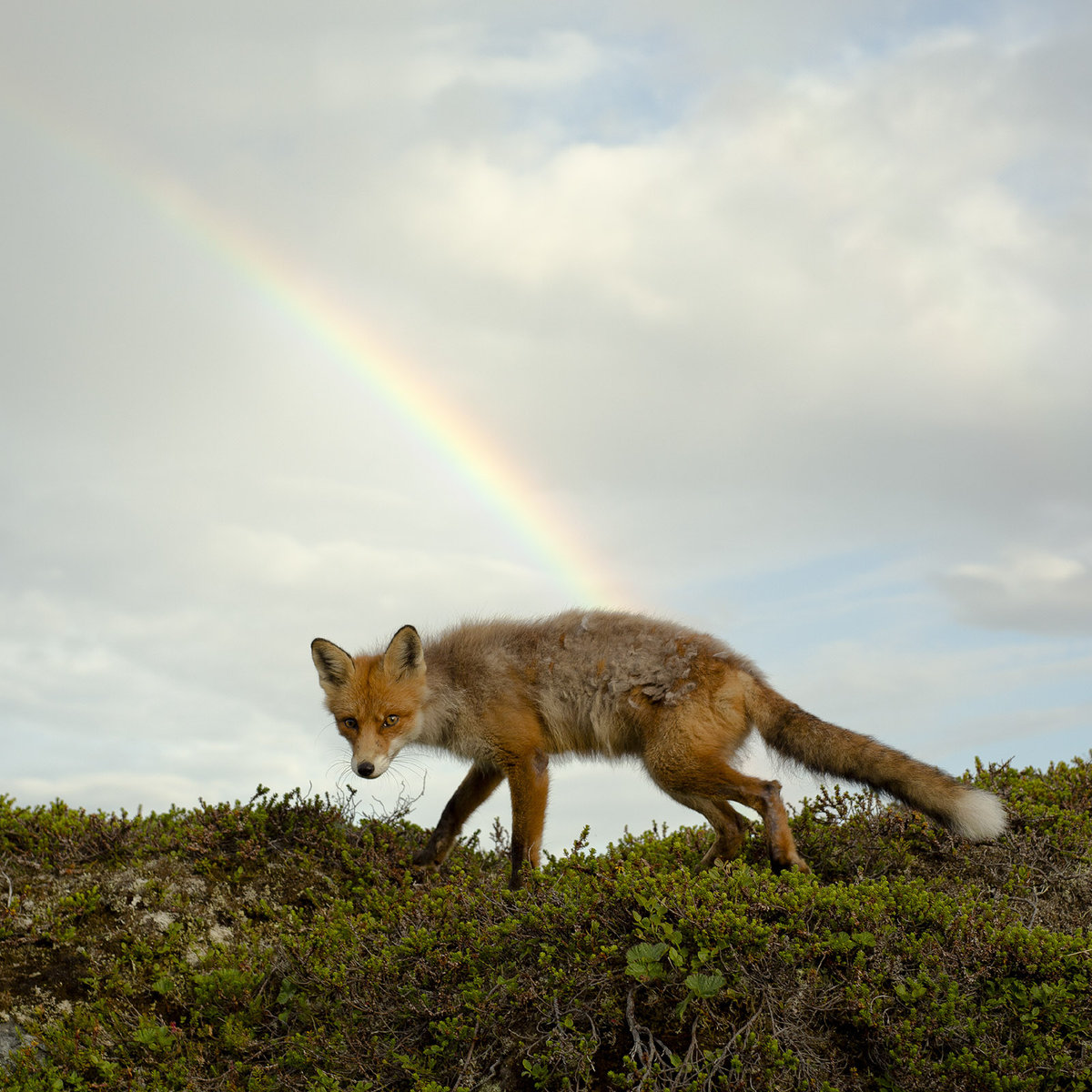 Buck Meek Album Cover Fox Rainbow