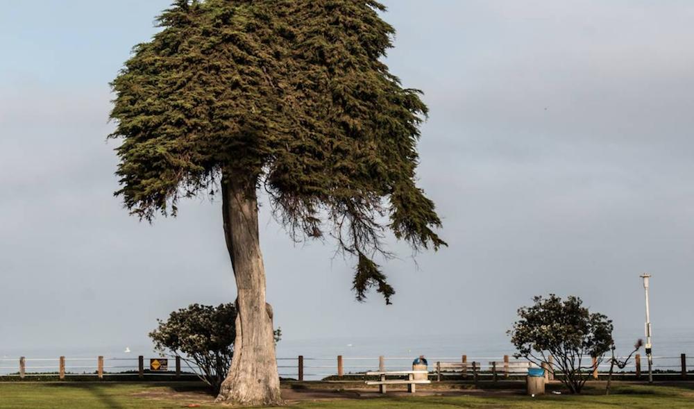 dr seuss lorax tree falls over la jolla truffula Tree that inspired Dr. Seuss The Lorax falls over