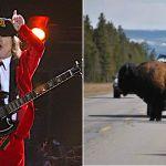 AC/DC music herds bison off highways