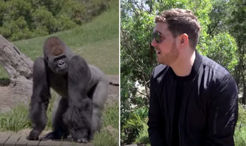 Michael Bublé Gorillas Zoo Christmas Music Australia Werribee